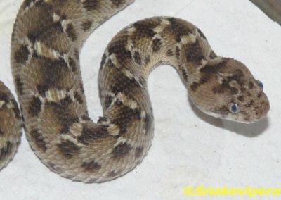 Le Totem serpent (echis carinatus)-jpg
